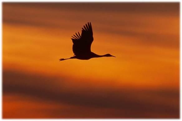 Bird Flying Goose